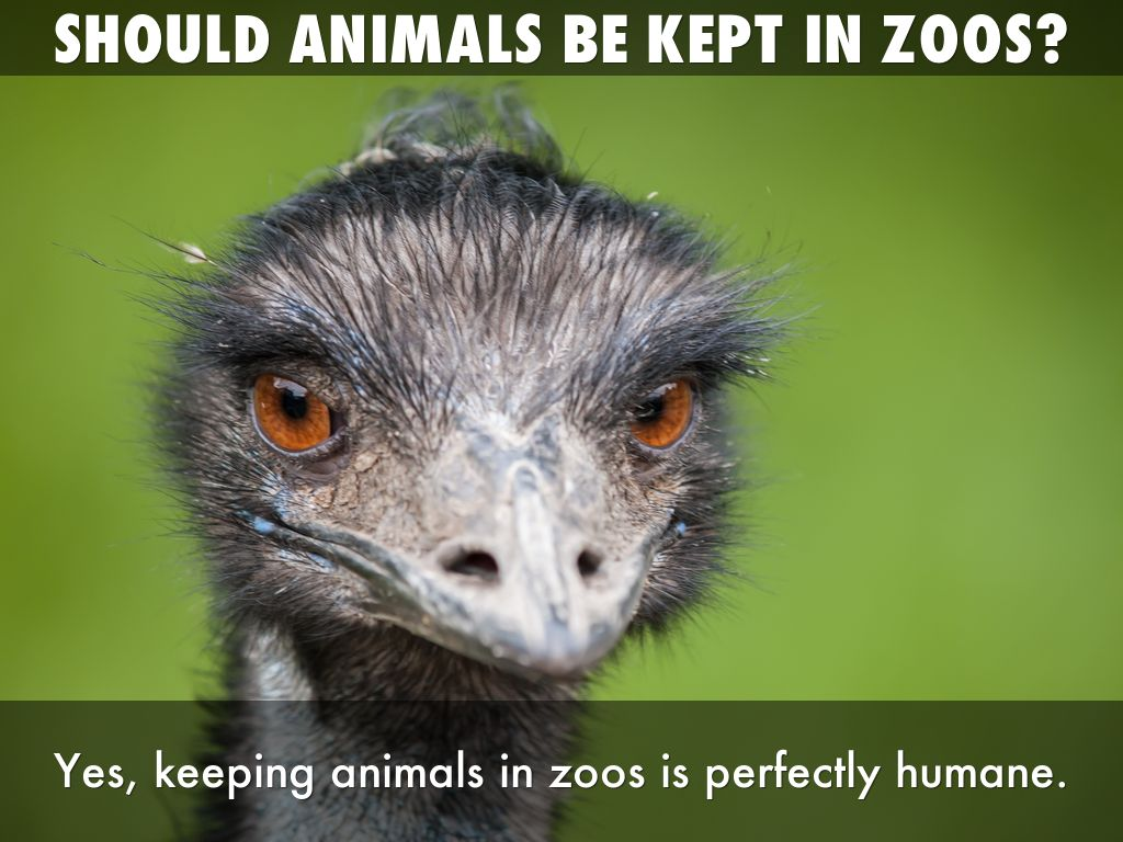 """is keeping animals in zoos cruel Despite their professed concern for animals, zoos can more accurately be described as """"collections"""" of interesting animals than as actual havens or homes  zoos: pitiful prisons  and being with others of their own kind zoos teach people that it is acceptable to interfere with animals and keep them locked up in captivity, where they."""