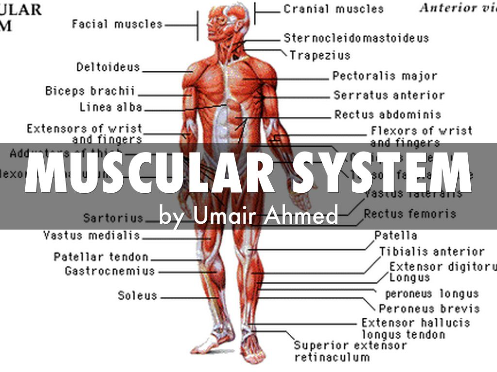 Muscular System By Umair03042001