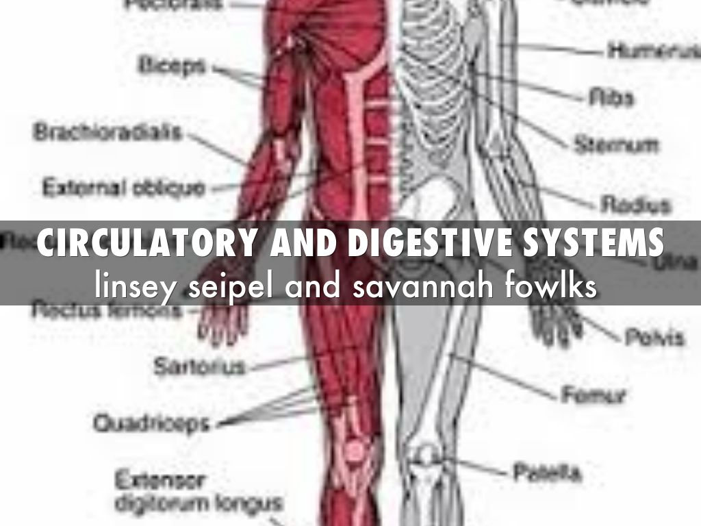 energy metabolism cardiovascular and digestive systems Digestion vs metabolism  a false assumption that the rate of one's digestive processes implies something  cells utilize the energy we have absorbed.