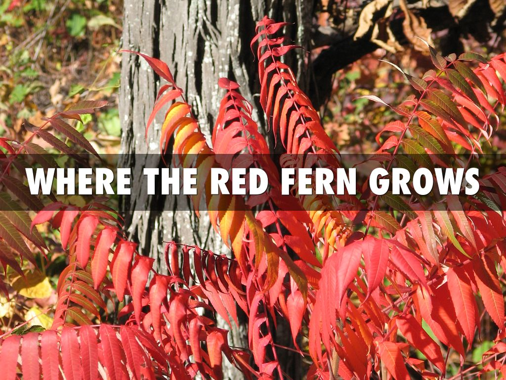 where the read fern grows essay Read this literature essay and over 88,000 other research documents where the red fern grows billy was walking home one day when.
