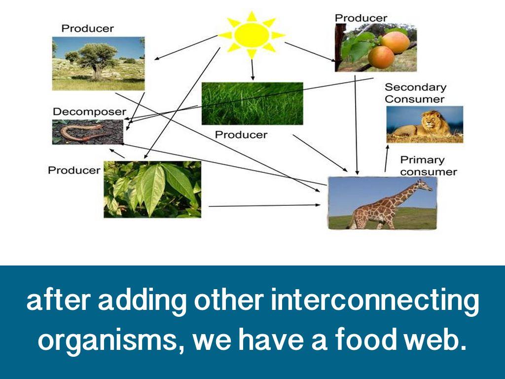 Giraffe Food Web Chain