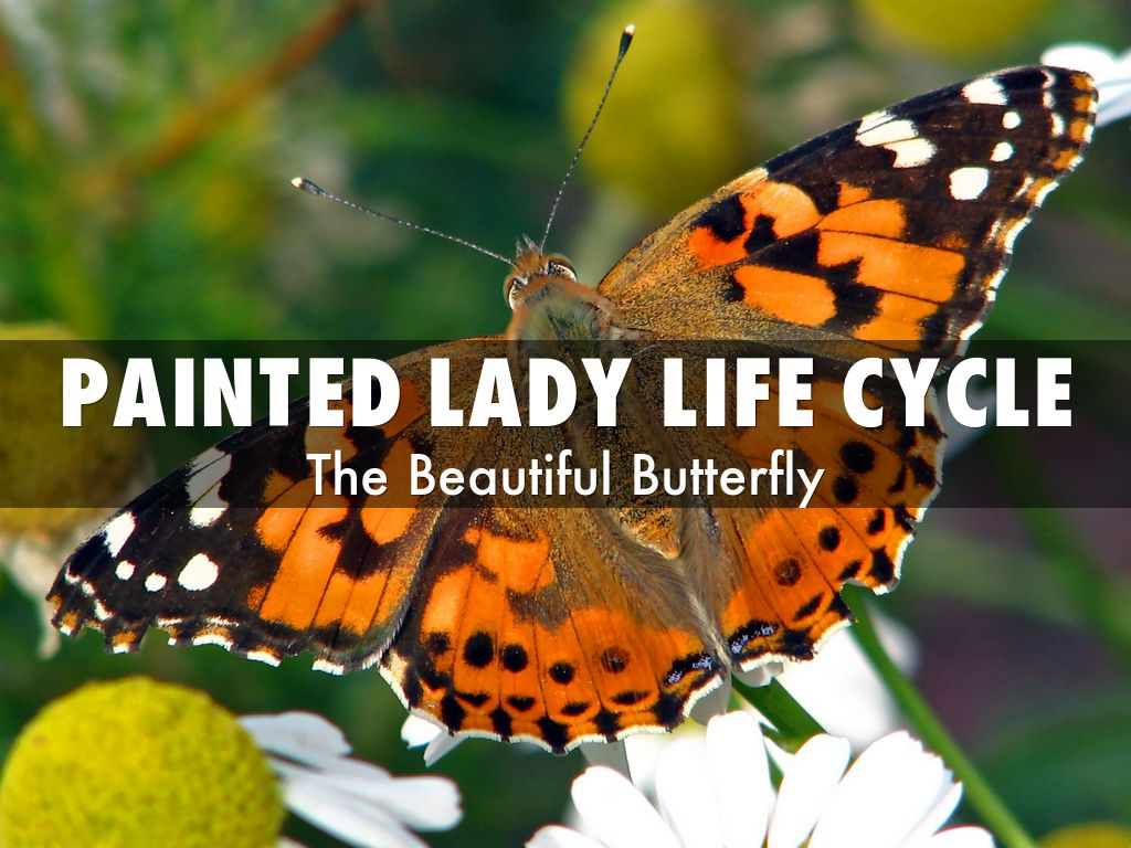 Painted lady life cycle by s44376
