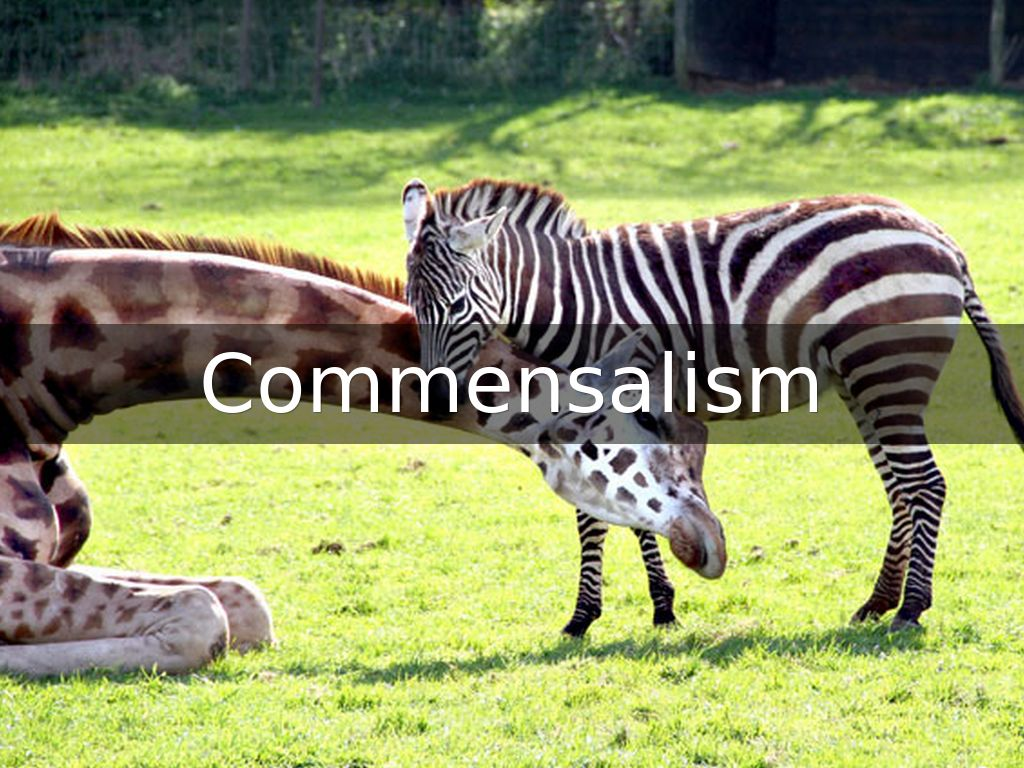 An example of commensalism a zebra and an egret   cattle e…   flickr.
