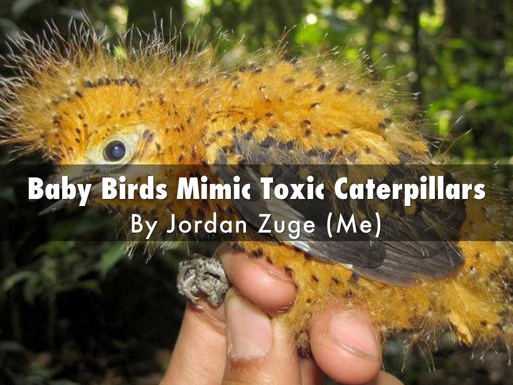Baby Birds Mimic Toxic Caterpillars