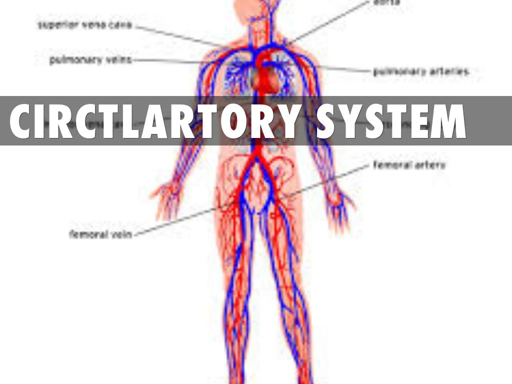 circulatory and digestive system The digestive system includes the mouth, tongue, throat, stomach,small intestines, large intestines, and rectum its purpose is toprocess food and turn it.