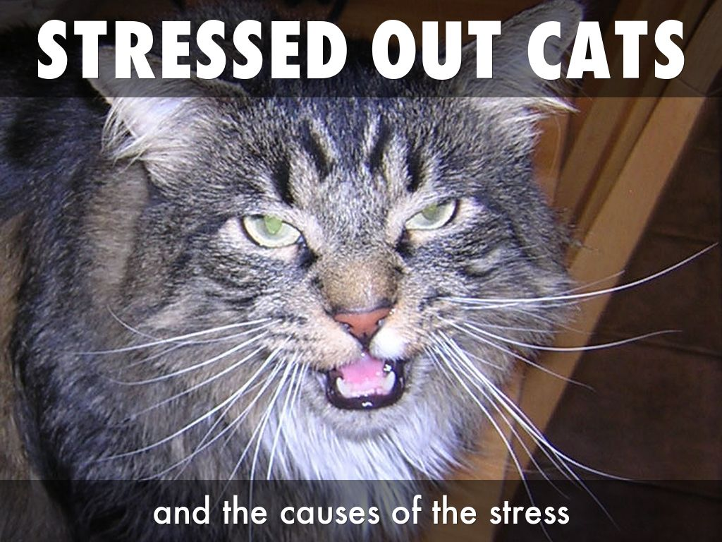 Stressed Out Cat | www.pixshark.com - Images Galleries ...