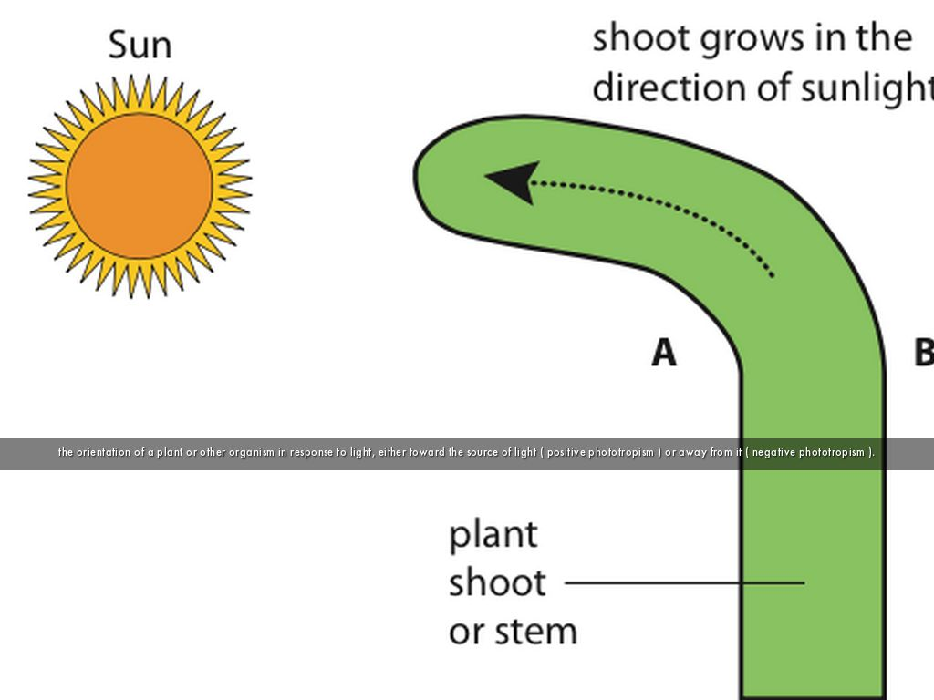 phototropism organisms response to light Phototropism is the growth of an organism which responds to a light stimulus it is most often observed in plants, but can also occur in other organisms such as fungi the cells on the plant that are farthest from the light have a chemical called auxin that reacts when phototropism occurs.
