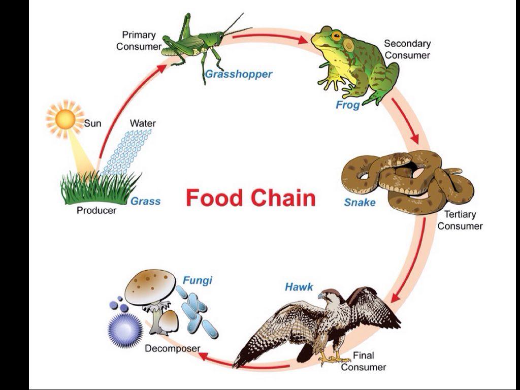 Organism Food Chain Producer