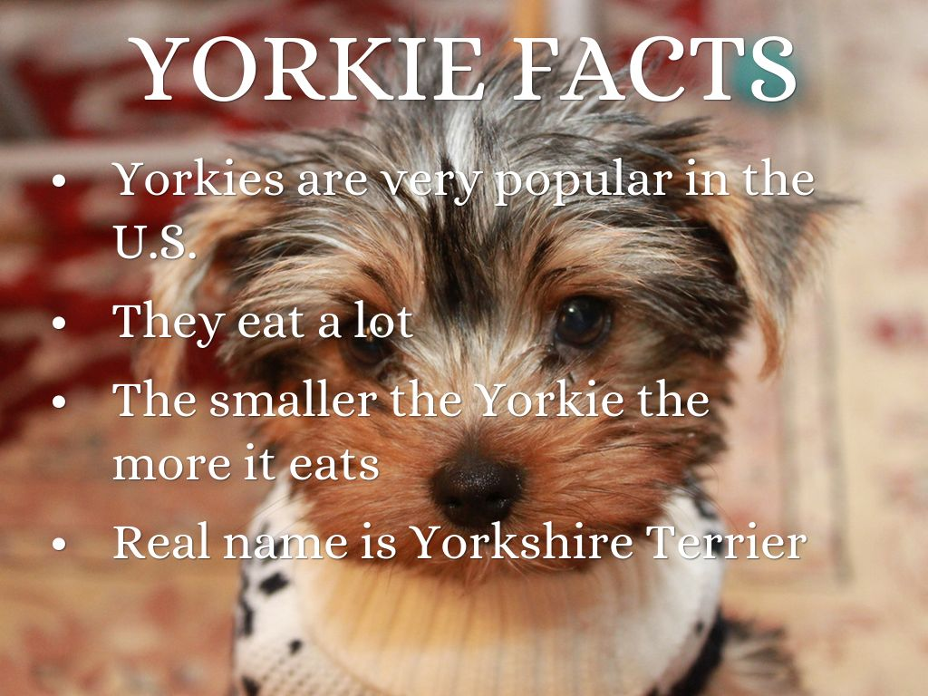 Yorkies By Fc Grade3