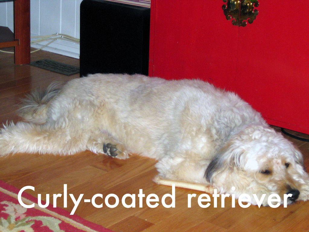 Copy Of Akc Recognized Dog Breed By Jonathon2813