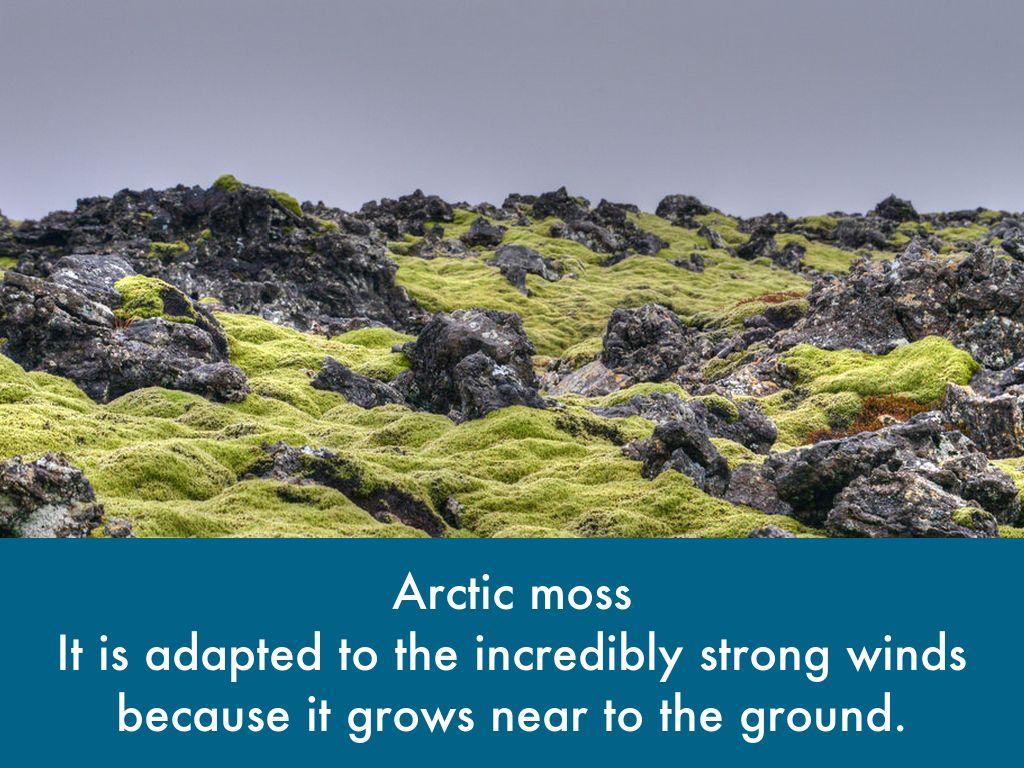 arctic moss tundra