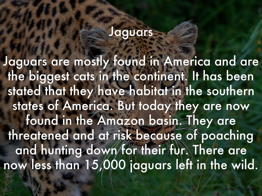endangered species study jaguars Essay endangered species study: jaguars i the jaguars of central and south america have been being killed for game and protection this cat used to have homes around the united states to uruguay, but ever since the fears of extinction the jaguars have moved to the undeveloped rain.