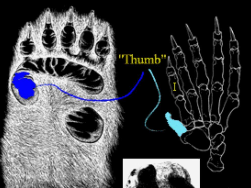 pandas thumb essay
