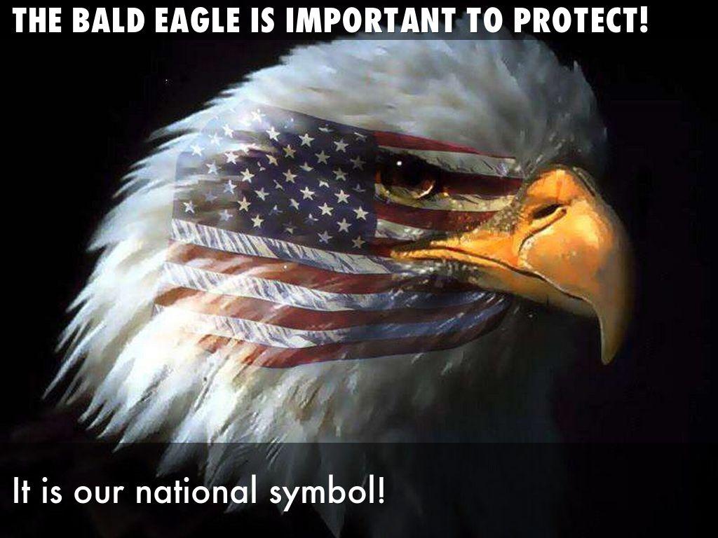 The Bald Eagle By Robert Gracia