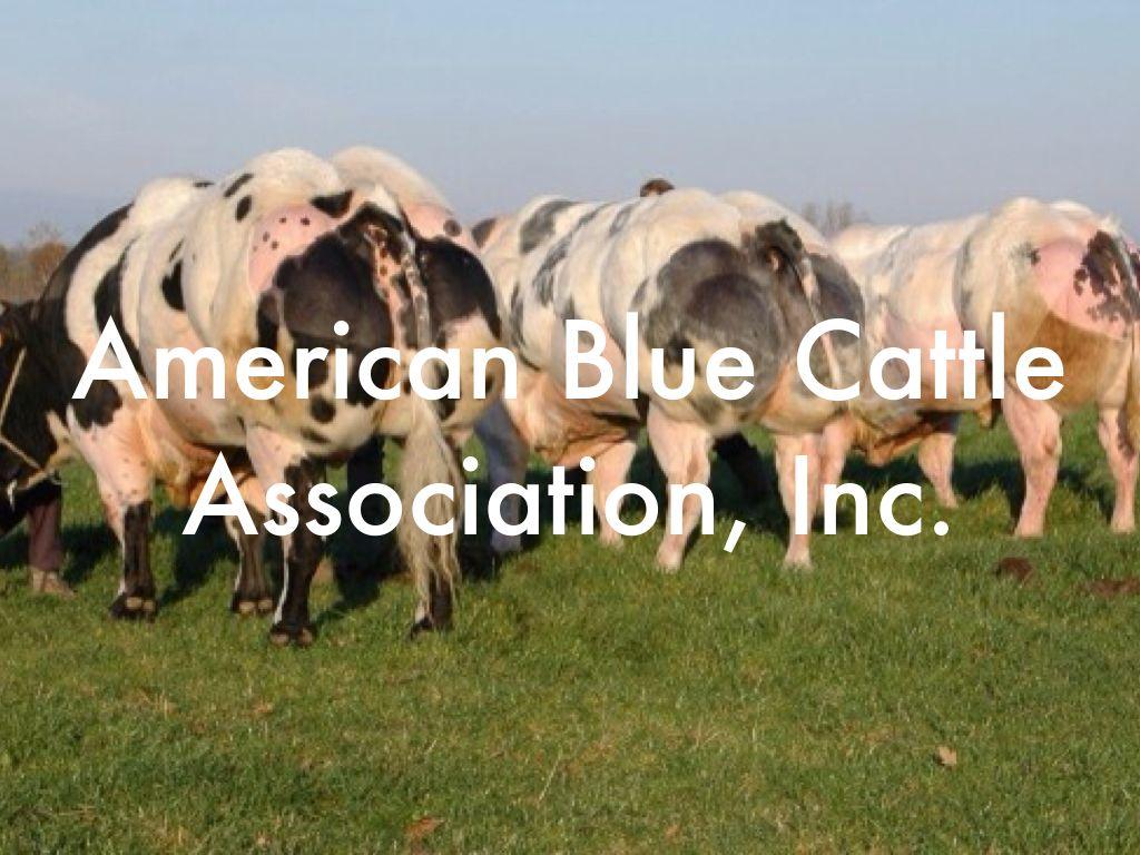 Belgian Blue Cattle By Lauren Whisenant