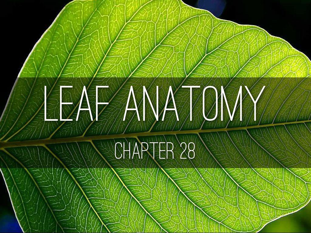 Leaf Anatomy by sgilleran97