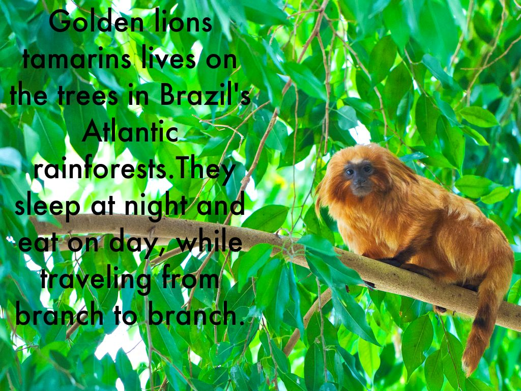 Golden Lion Tamarins by Karina Prants