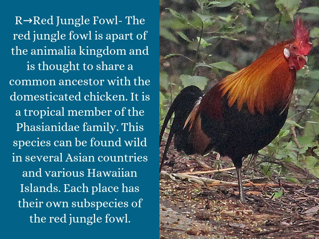 Indian red jungle fowl
