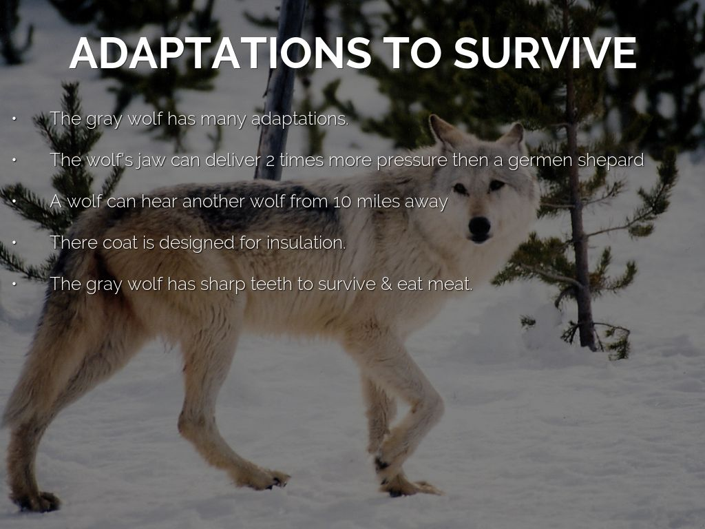 how deos the gray wolf survive in the tundra? by: