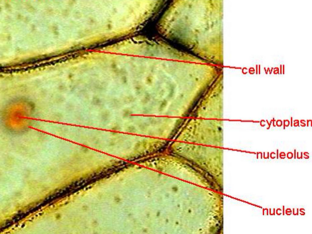 onion skin cell labeled diagram cells under a microscope by jaimarie nelson