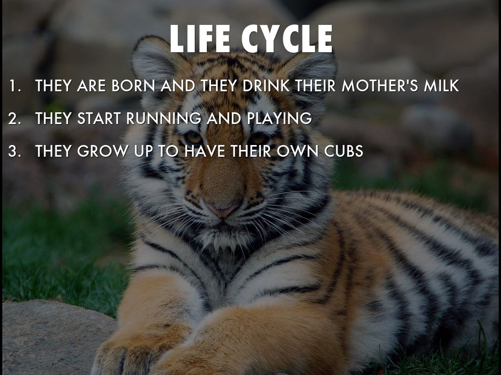 TIGER'S LIFE CYCLE by grimshap