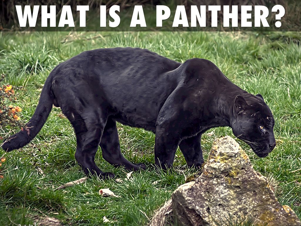 a description of the black panther as a type of leopard For five decades, black panther and his african homeland of wakanda have been an inspiration for superhero fans of color.