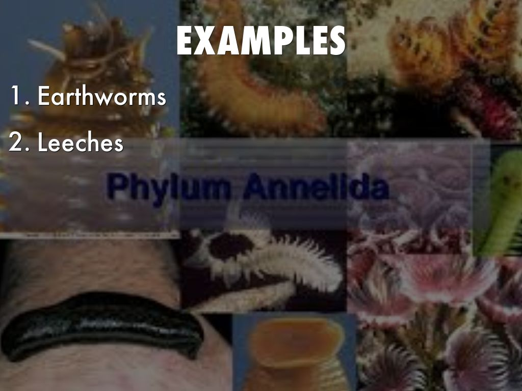 Annelida Examples