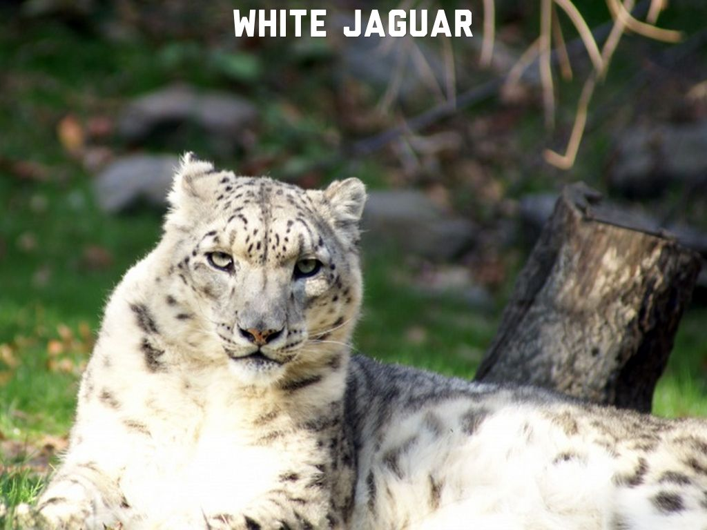 There are different types of jaguars