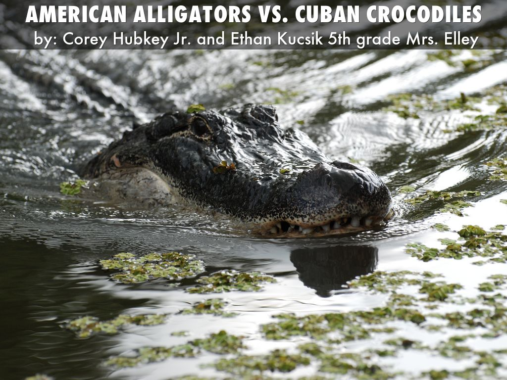 American alligators vs. cuban crocodiles