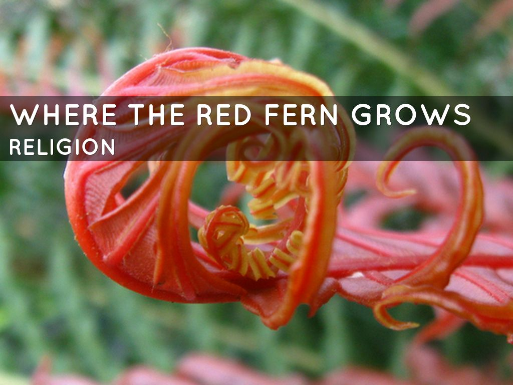 where the red fern grows thesis sacrifice The thesis statement where the red fern grows was an outstanding book because of its realistic characters, engaging plot, and heartfelt theme.