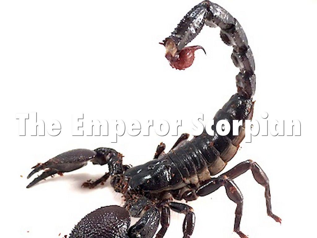 Copy of The Emperor Scorpian by jkoszalkowski