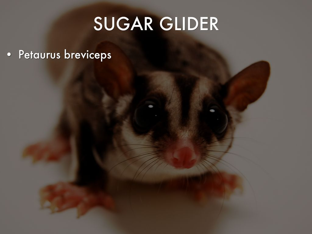 Sugar Glider by naereb16