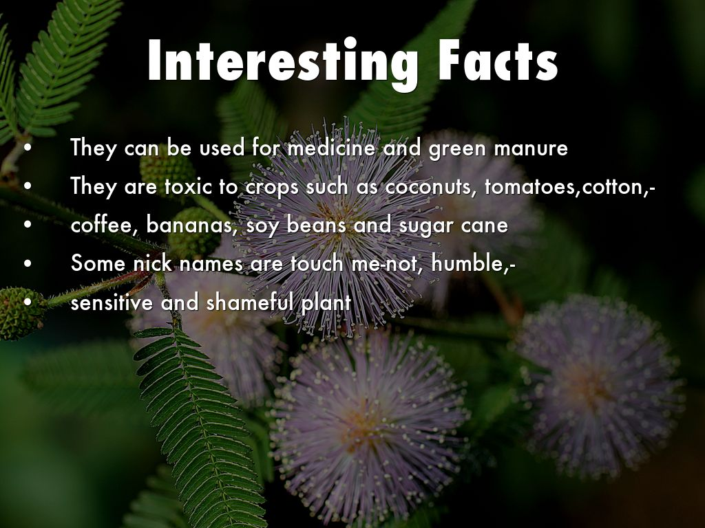 Mimosa Pudica Seeds Copy of Mimosa P...