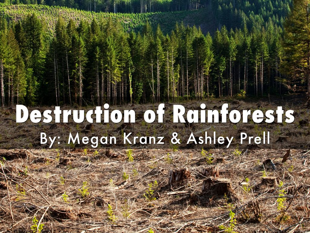 rain forest destruction essay The final major cause of mass rainforest destruction is cattle ranching cattle ranching in the rainforest yields very low amounts of beef, but it is replacing farming that was more productive cattle ranching yields 91 pounds of beef per acre per year, where as corn yields 5,000 pounds per acre per year.