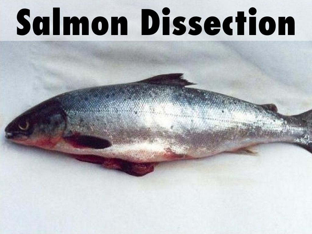 Salmon Dissection by Sandra Hodge