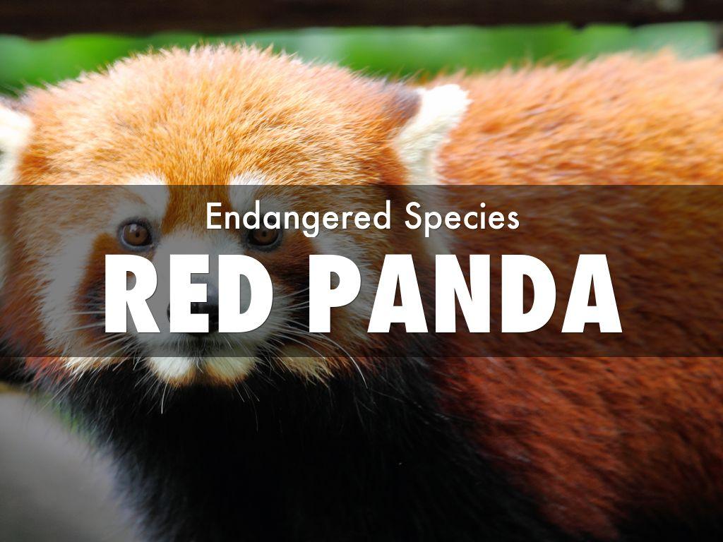Red Panda By Kim Bozard