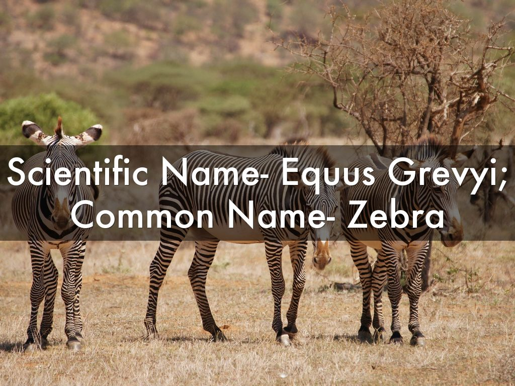 Zebra Scientific Name The Grevy's Zebra by a...
