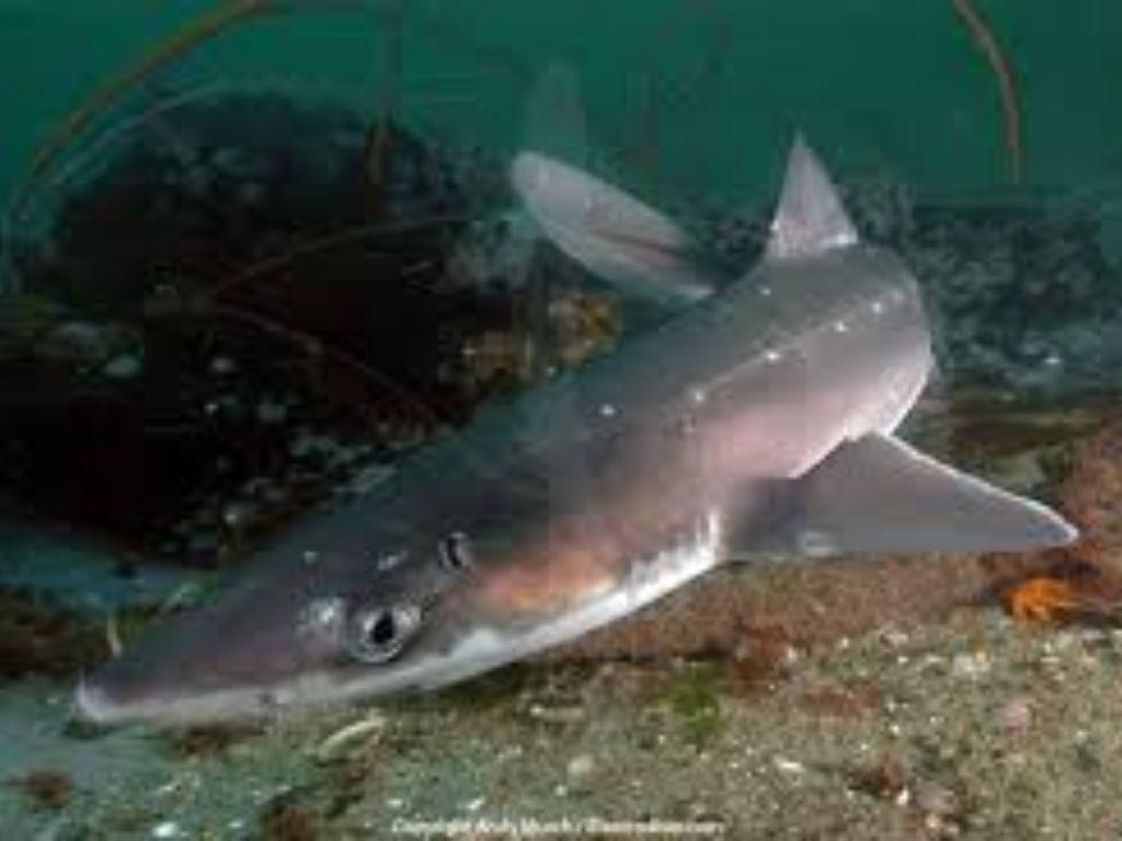 Spiny Dogfish by tina.pilgrim.tp