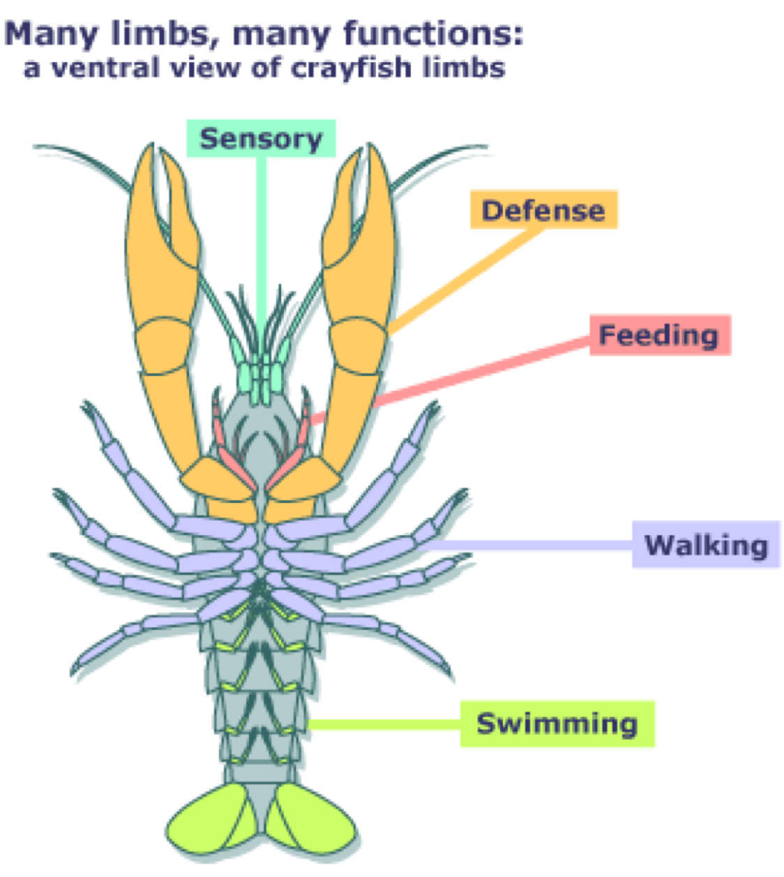Fantastic Crayfish External Anatomy Images - Anatomy and Physiology ...