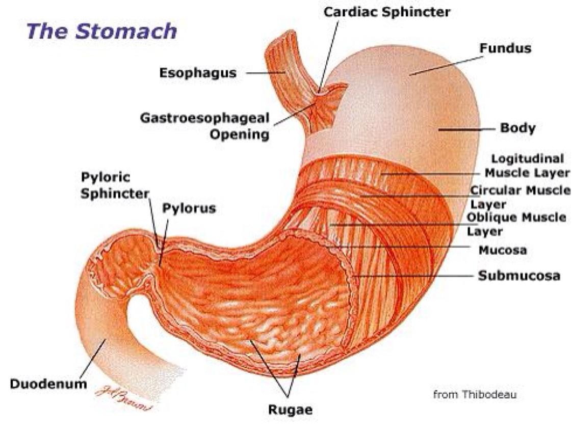 pig abdomen diagram schema wiring diagram online