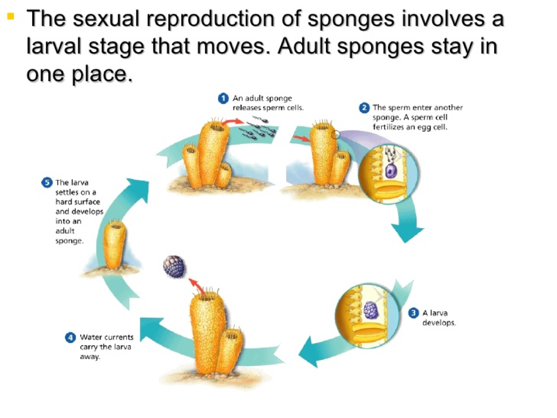 Sponges reproduce asexually by developing larvae in water