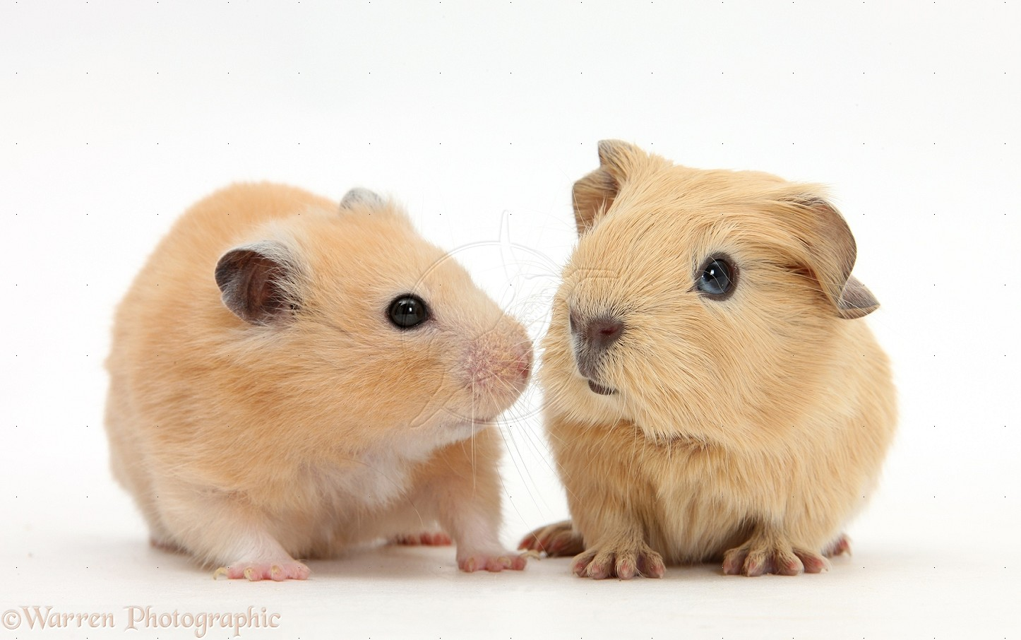 Uncategorized Hamster And Guinea Pig hamsterguinea pig haiku deck project by darin roeung