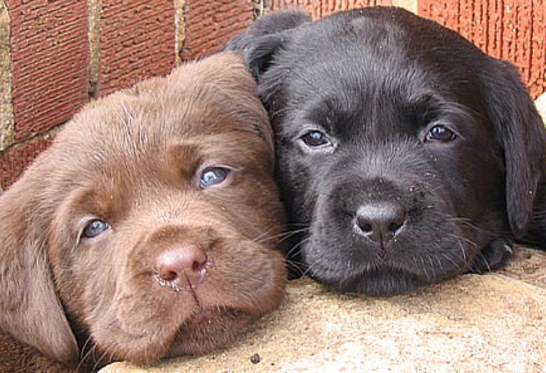 Labrador Puppies By Jessica Parr