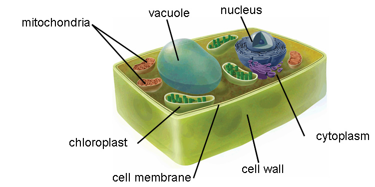 Plant cell project by angela banico ccuart Choice Image