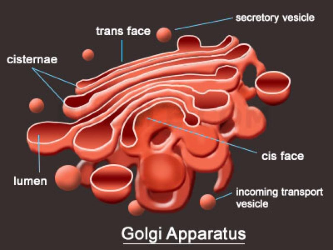 Golgi Apparatus Diagram Project Modern Design Of Wiring M1008 Glow Plug Body Labeled Detailed Rh 14 9 3 Gastspiel Gerhartz De Chloroplast Cell Membrane