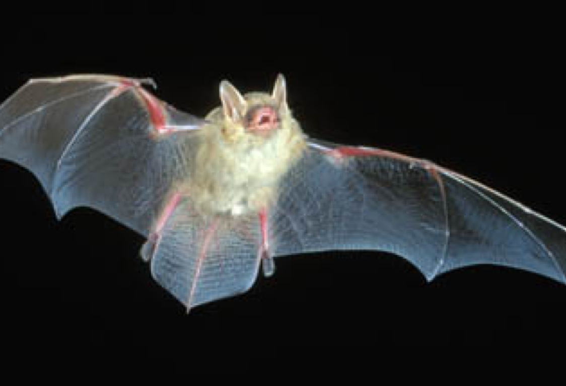 Attractive Vampire Bat Anatomy Embellishment Physiology Of Human