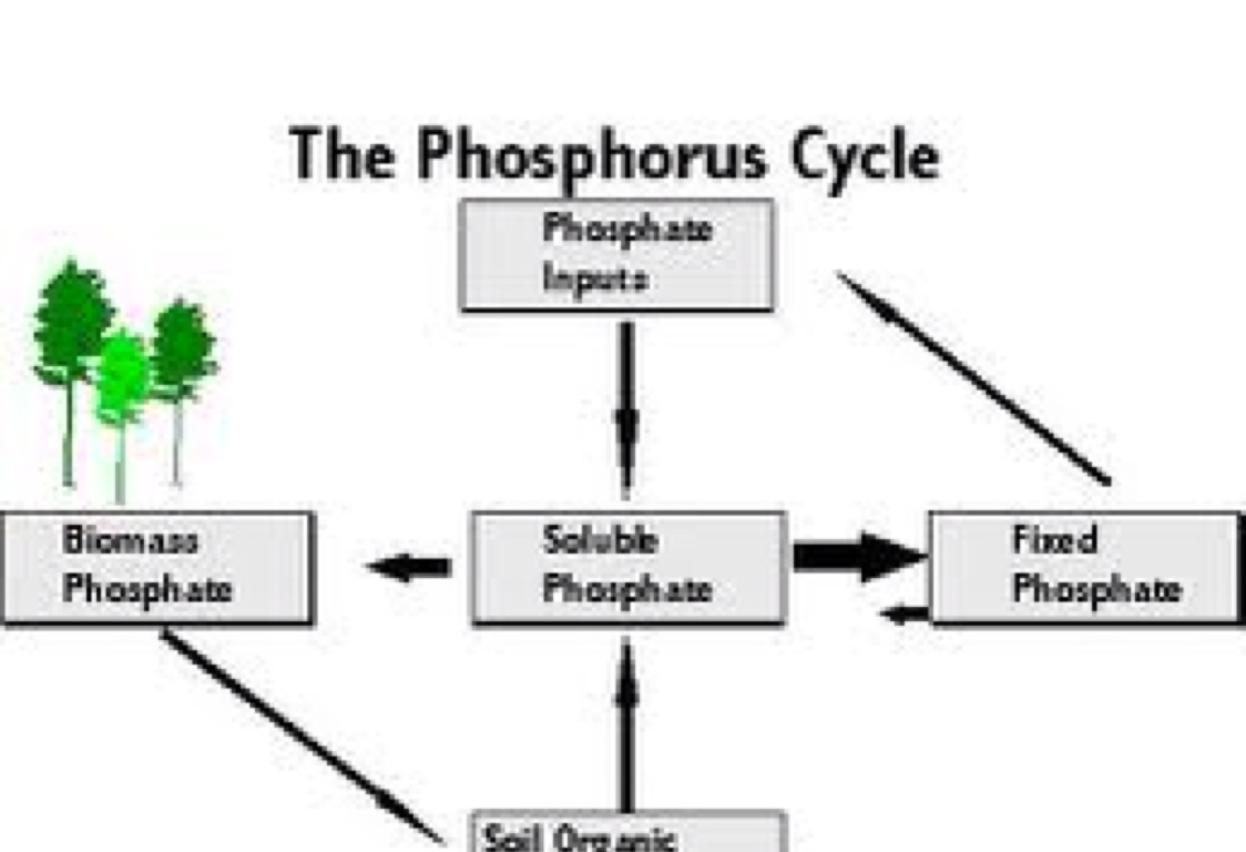 the phosphorus cycle by laura augustin