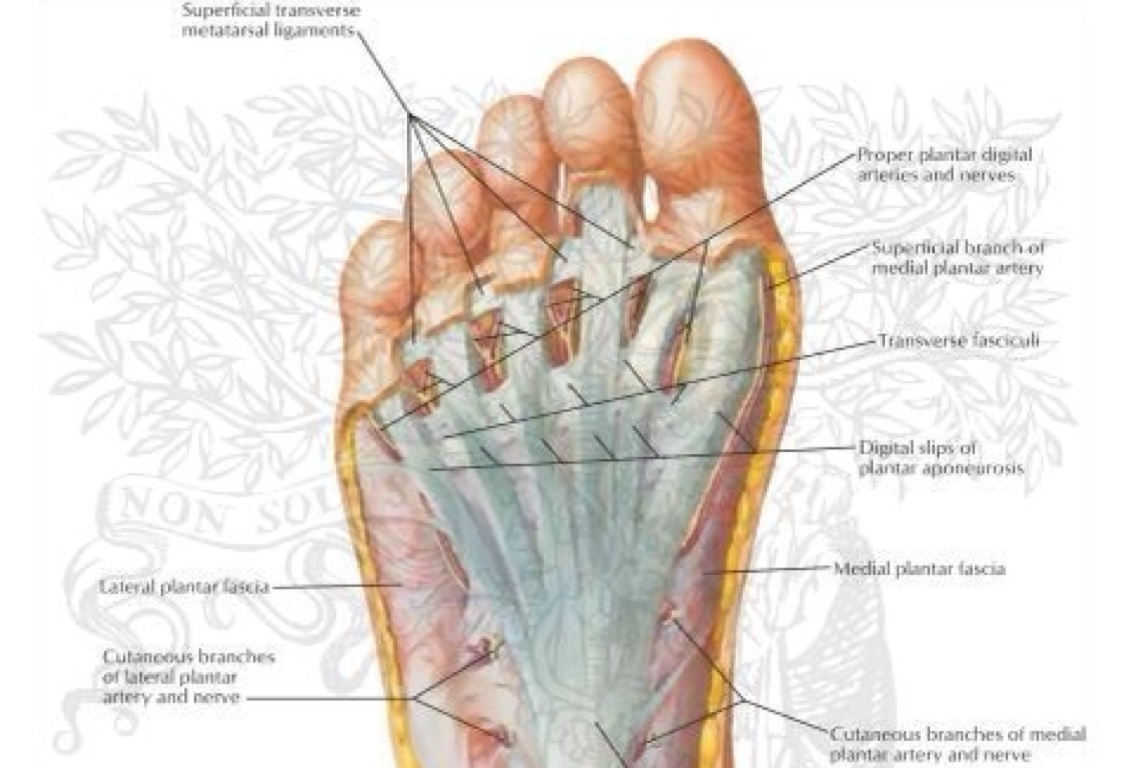 anatomical terms by Gaven O\'Connell