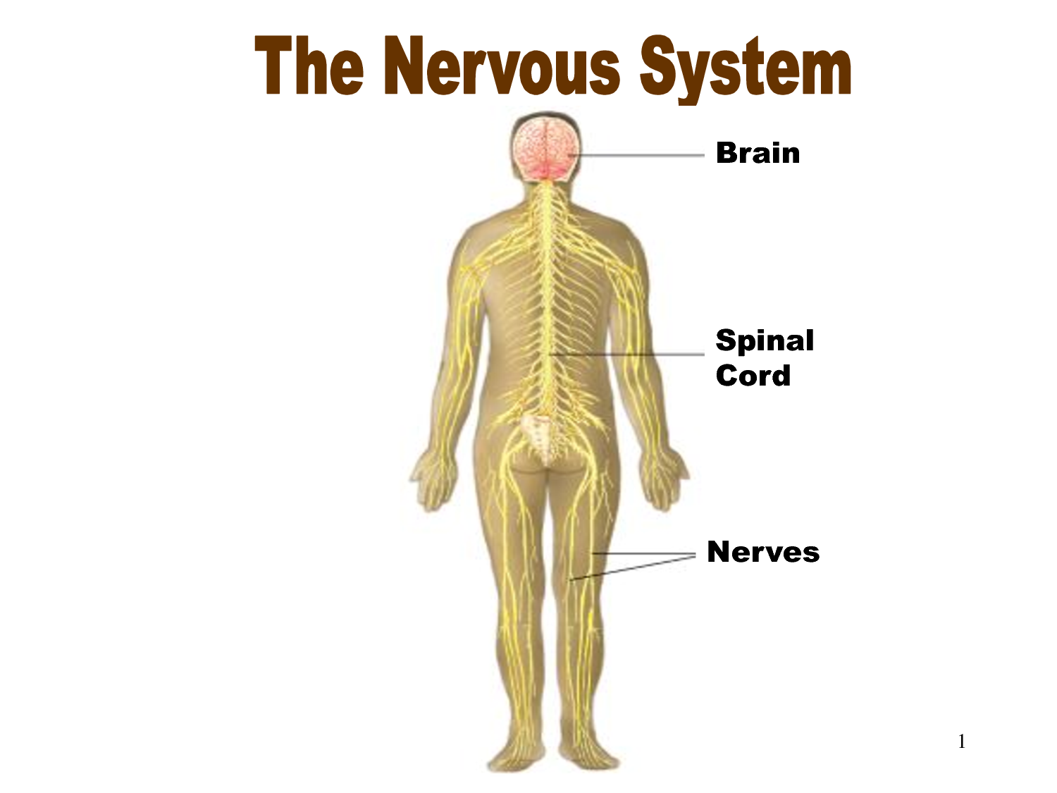 Three Main Functions Of The Nervous System What Is The Main