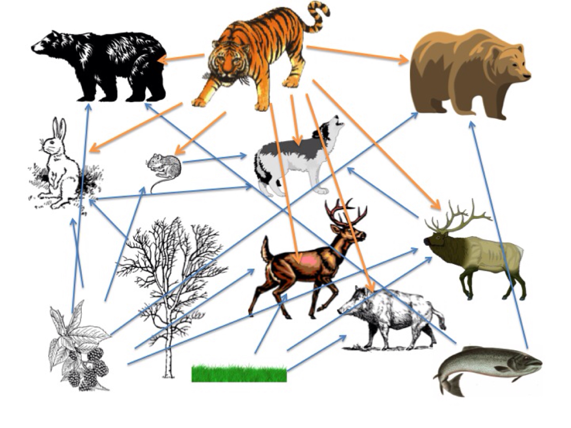 importance of tigers animal to our ecosystem Tigers effect on the ecosystem the strength of our ecosystem on the effects that tigers have on their ecosystem and what would happen if.